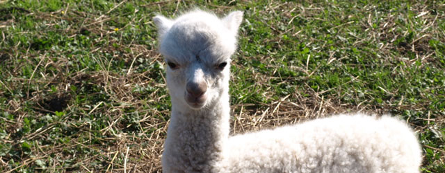 Local Alpaca Herd Doubles In Size!