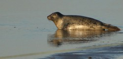 Lincolnshire Wildlife Trust at Donna Nook is home to one of the largest colonies of breeding Grey Seals in Britain. Well over 1000 Seal pups can be born during November and December 