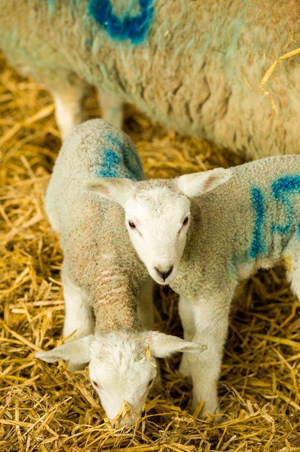 Lambing Sunday At Bishop Burton College