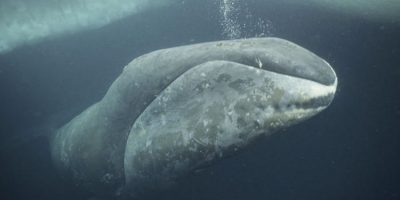 Bowhead Whale Audiovisual Installation Will Provide Mighty Experience