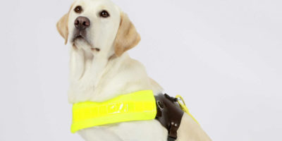 Trainee Guide Dog Seeks Temporary Accommodation In Beverley