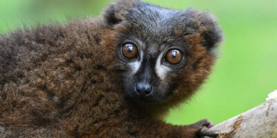 Endangered Lemurs Given Funding Boost By Wildlife Park