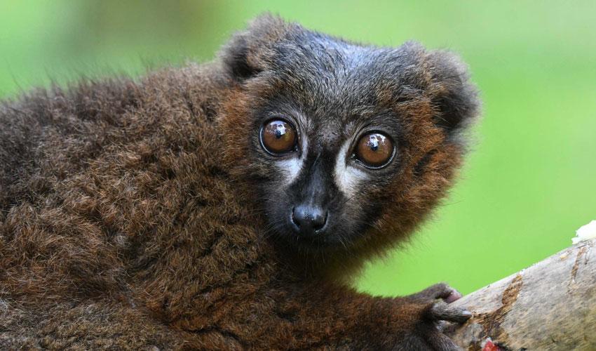 Endangered Lemurs Given Funding Boost By Wildlife Park