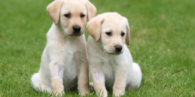 Guide Dogs' Urgent Appeal For Puppy Raisers In Beverley And Surrounding Villages